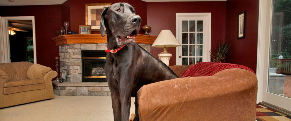 Cutest Dog In The World Guinness 2013 zeus, world's tallest dog, dies at age 5 - abc news