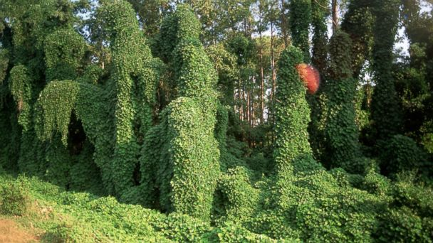 PHOTO: Kudzu, a Japanese vine, overgrows trees and everything in its path near Oxford, Miss.