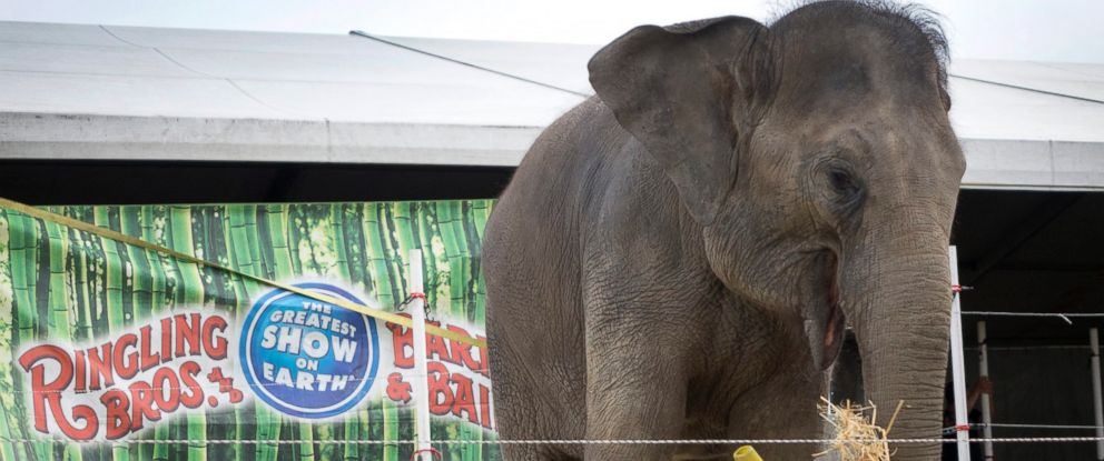 PHOTO: An elephant from the Ringling Brothers and Barnum & Bailey Circus eats hay during the Behind-the-Scenes Experience, as part of the introduction of their Circus XTREME show at the American Airlines Arena in Miami, Florida Jan. 13, 2016.