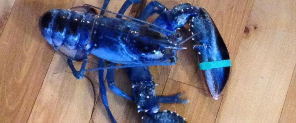 PHOTO: A rare blue lobster was caught off the coast of Maine, Aug. 23, 2014.