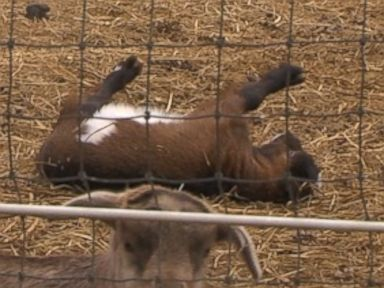 'Fainting Goats' Are Funny and Adorable