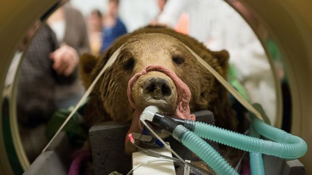 Fair use grizzly colorado mar 140219 16x9 608 Surgeons Deal With One Grizzly Patient