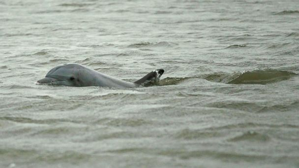 PHOTO: A dolphin swims through the water as concern grows that animal and sea life will be damaged by the Deepwater Horizon oil spill in the Gulf of Mexico on May 2, 2010 in Drum Bay, Louisiana.
