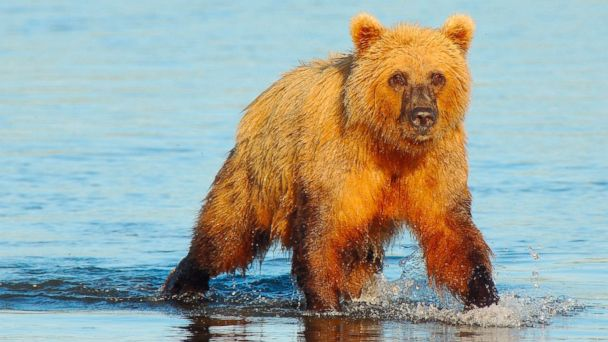 PHOTO: Alaskan coastal brown bear at Lake Clark National Park, Ala..