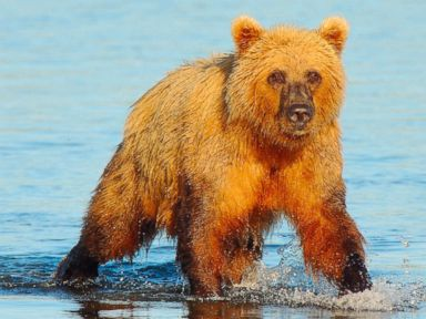 Alaska man survives brown bear attack, thanks to quick-thinking friend