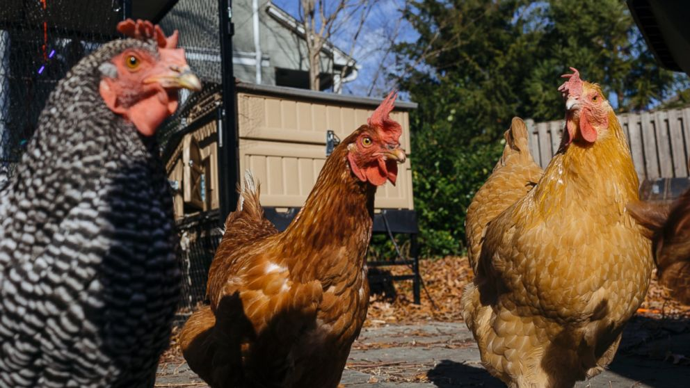 Backyard chickens could soon be banned in the nation's capital