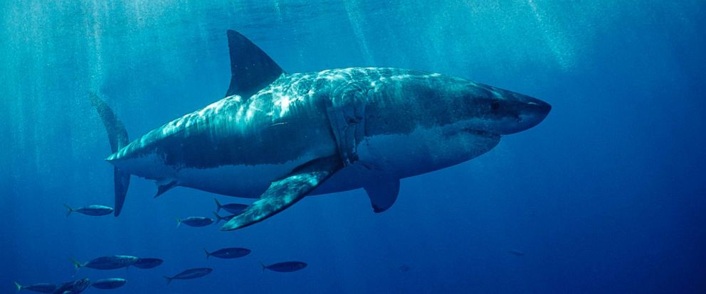 PHOTO: Cape Cod has seen a large increase in the amount of great white sharks.