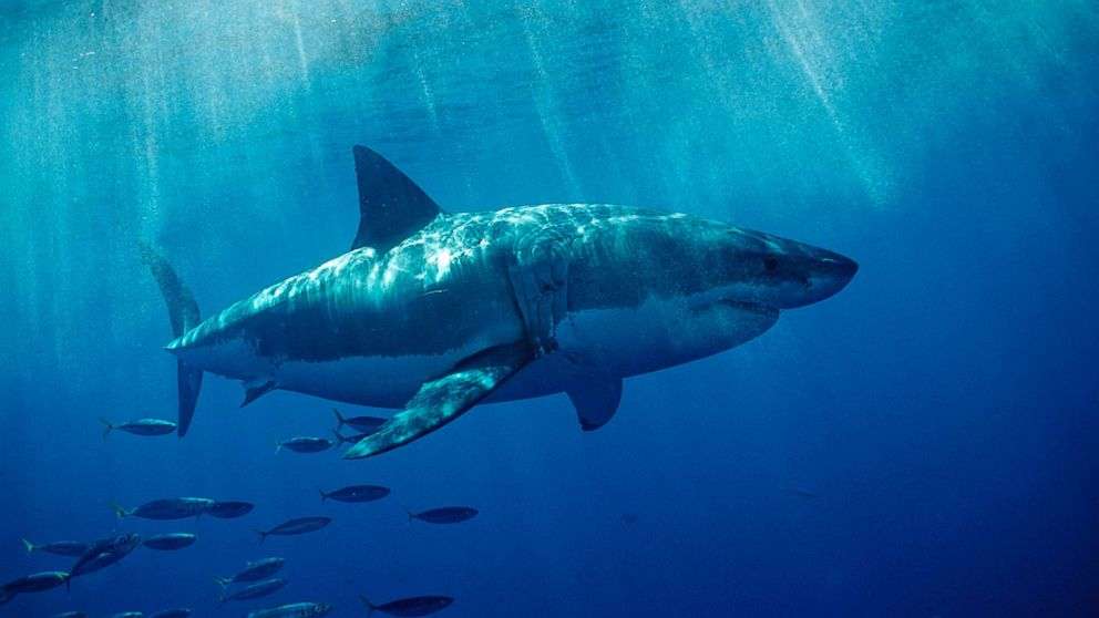Growing concerns over great white shark boom off Cape Cod ABC News