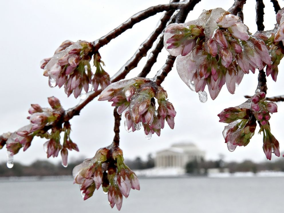 PHOTO: Ice covers cherry blossoms near the Jefferson Memorial, in background, after a snow and ice storm hit the nations capital, March 14, 2017, in Washington. The east coast of the U.S. was hit with a late season winter storm.