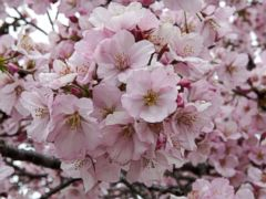 DC celebrates spring and cherry blossoms in annual festival