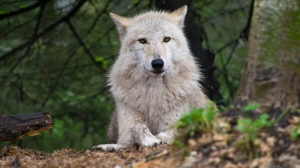 PHOTO: A grey wolf in Seattle, Washington is pictured in this undated stock photo.
