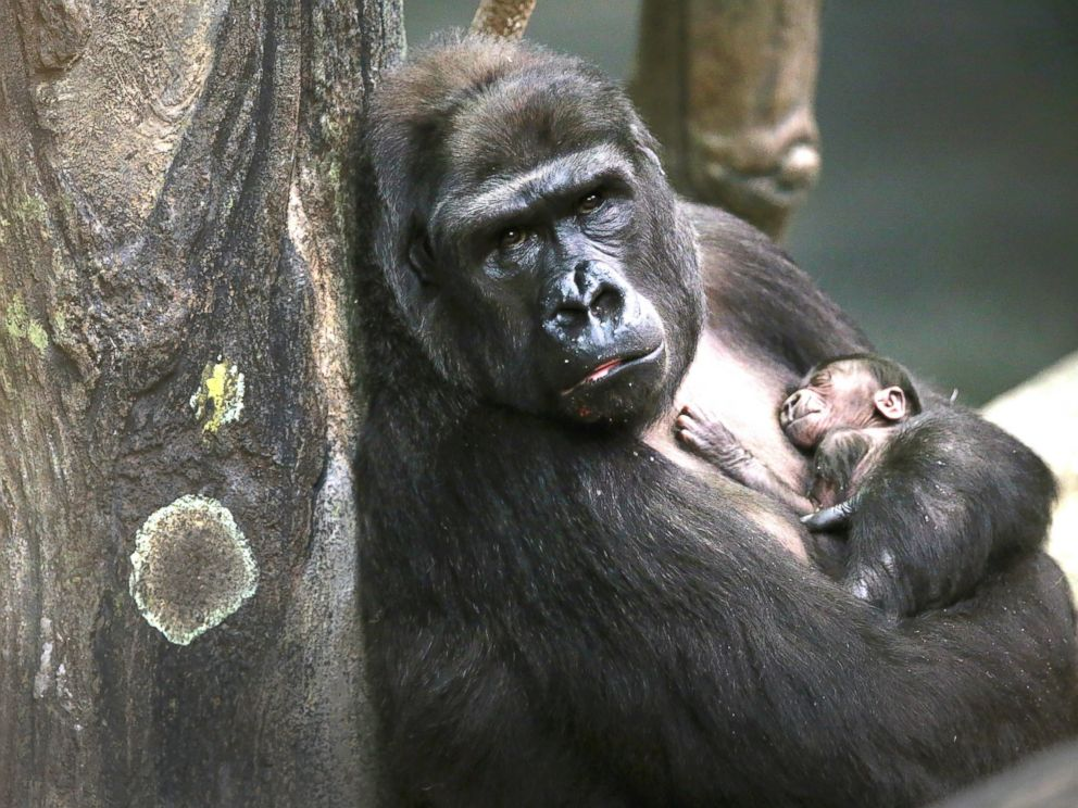 Gorilla Carries 3 Year Old Boy To Safety After He Fell