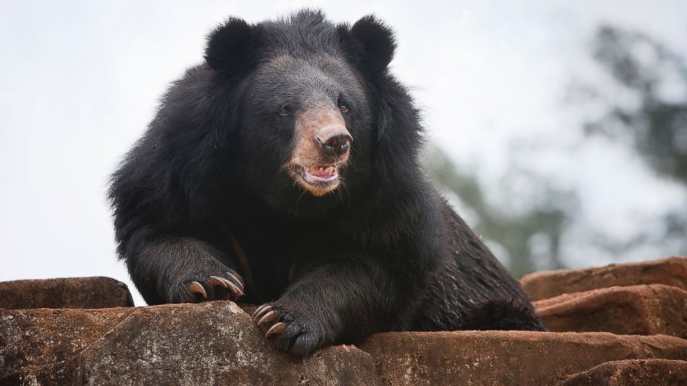 PHOTO: Black bears attack a Florida woman.