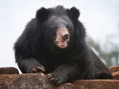 Black Bear Mauls Woman, Drags Her Out of Garage