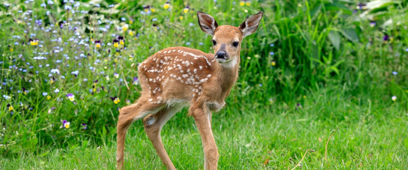 PHOTO: A white-tailed deer is shown in this undated file photo.