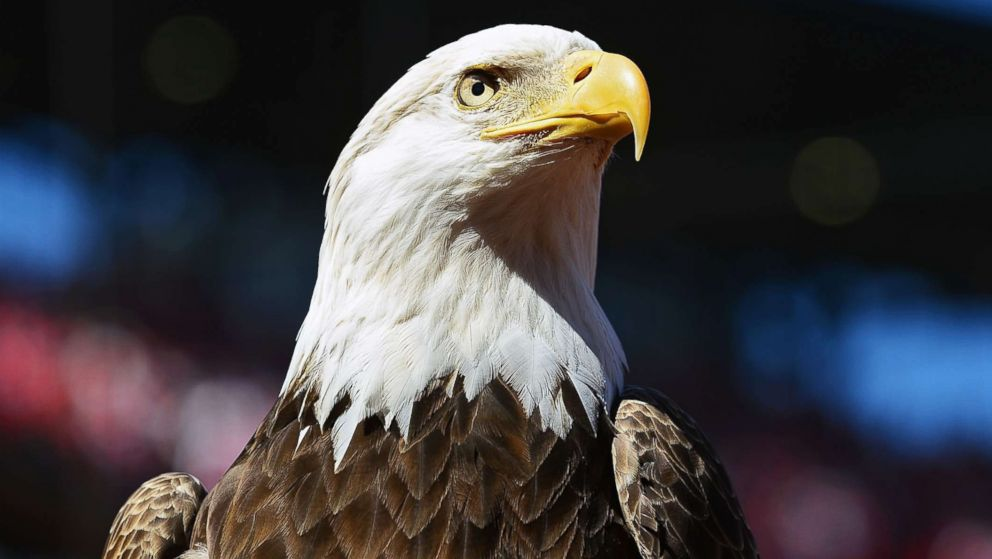 Bald Eagle Videos at ABC News Video Archive at abcnewscom