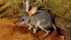 PHOTO: A greater bilby in Simpson Desert, Queensland, Australia, is shown in this undated file photo.