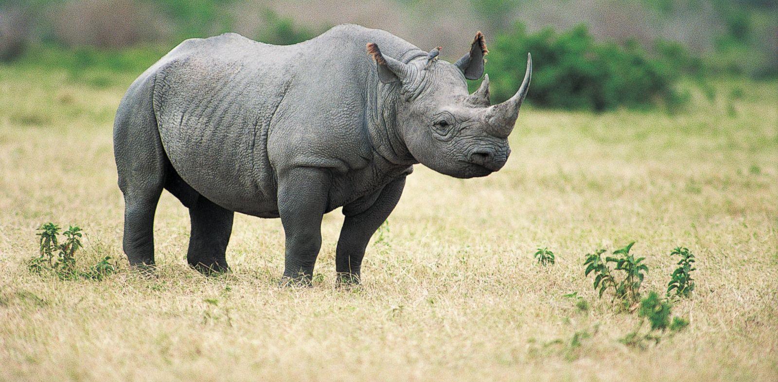 PHOTO: Black Rhinoceros.