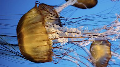 PHOTO: Black Sea Nettle