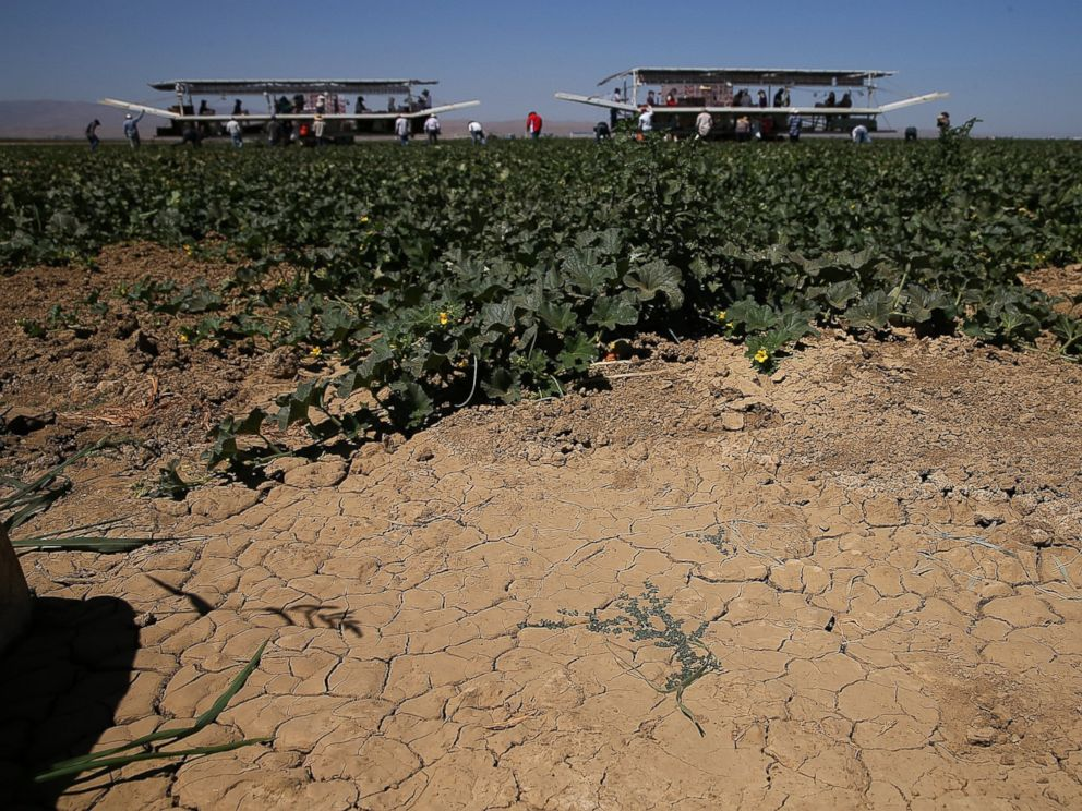 PHOTO: Dry cracked earth is visible on a cantaloupe farm, Aug. 22, 2014 near Firebaugh, Calif.
