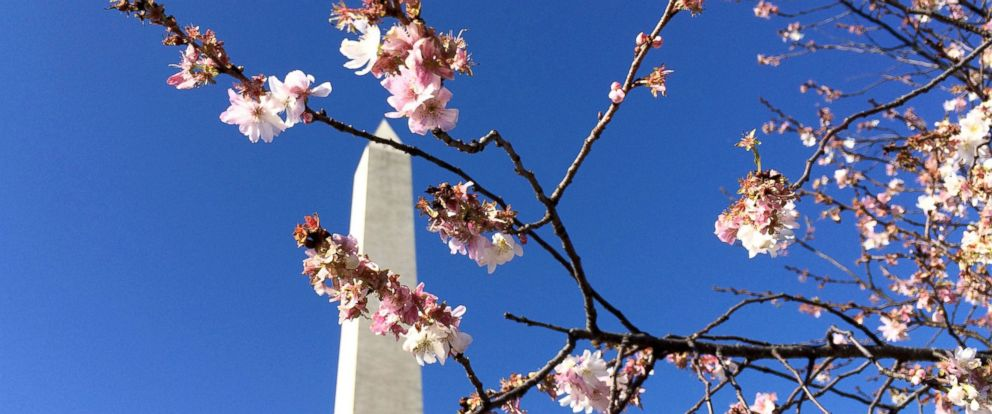 PHOTO: Cherry blossoms are seen on a tree in front of the Washington Monument, Jan. 2, 2016, in Washington.