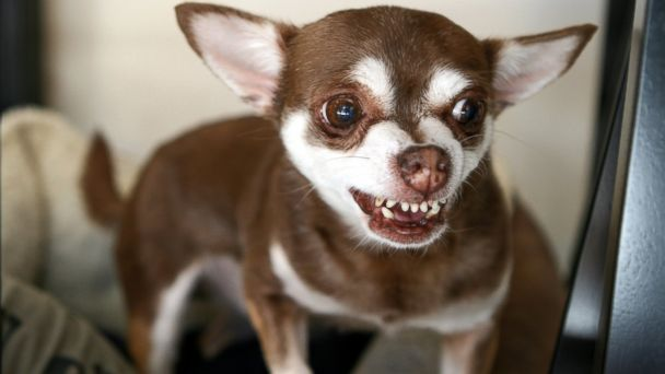 GTY chihuahuas jef 140217 16x9 608 Chihuahuas Rampage in Arizona