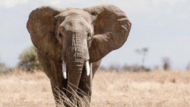 PHOTO: Wild African elephants can distinguish between mens and womens voices as well as different ethnic groups.