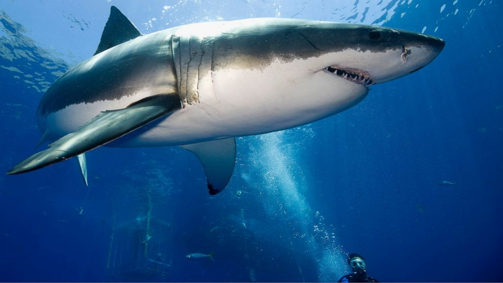 You can track a great white shark as it swims toward texas for Picture great