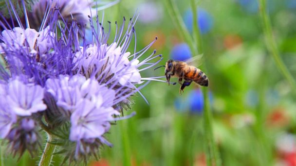 GTY honey bee jef 140625 16x9 608 Bee Friendly Gardeners May Accidentally Poison Their Bees, Study Says