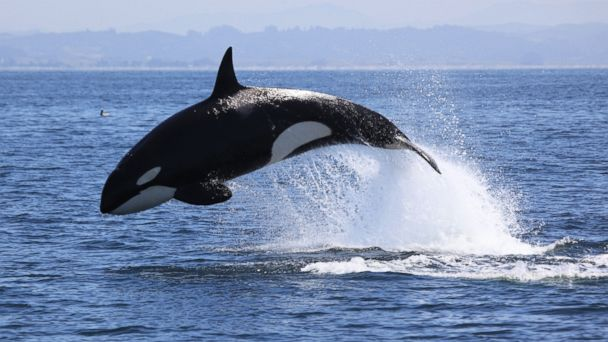 GTY killer whale monterey bay 136139921 jt 131130 16x9 608 Whales, Dolphins Putting on Spectacular Show in Monterey Bay