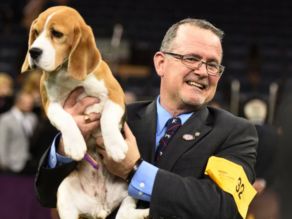 Westminster Dog Show 39 S Miss P Taking Applications For 39 Suitable Mates 39 Abc News