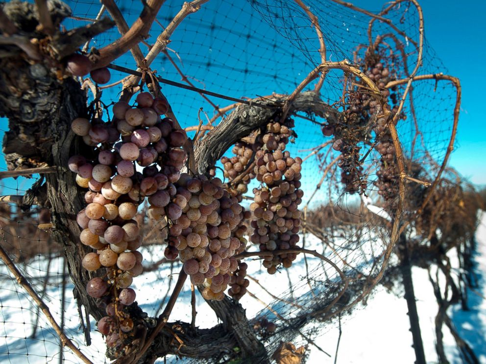 PHOTO: Vidal Blanc grapes hang from vines in the snow at the Ferrante Winery in Geneva, Ohio, Jan. 4, 2013.