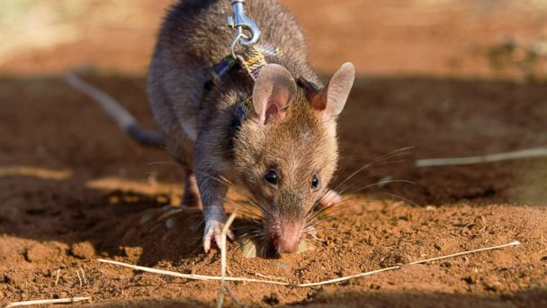PHOTO: In this file photo, a baby giant African pouch rat tethered by a wire to its harness smells out a dummy land mine while being trained by a pioneering Belgian NGO on Oct. 27, 2010.