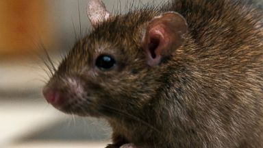PHOTO: A rat is pictured in this stock photo.