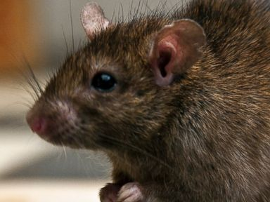Rats Trample on Terminix Anti-Rat Insulation