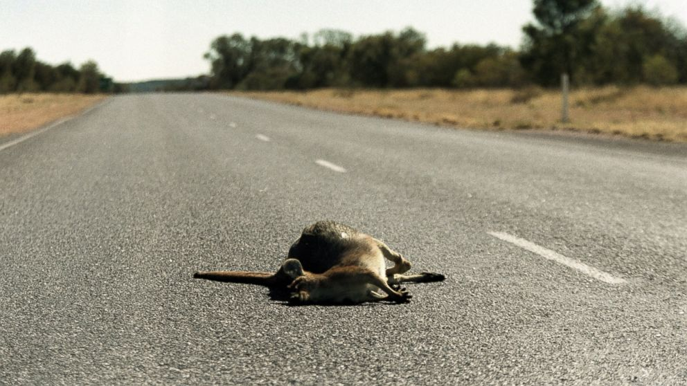 PHOTO: Michigan lawmakers are trying to introduce a bill that would make taking roadkill home easier for drivers.