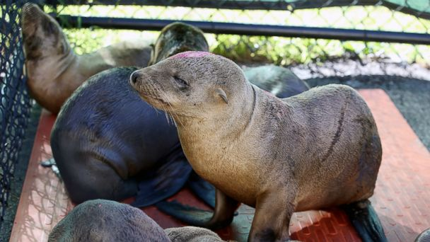 GTY sea lion pups sk 150218 16x9 608 Starving Sea Lions Overwhelm California Rescue Centers