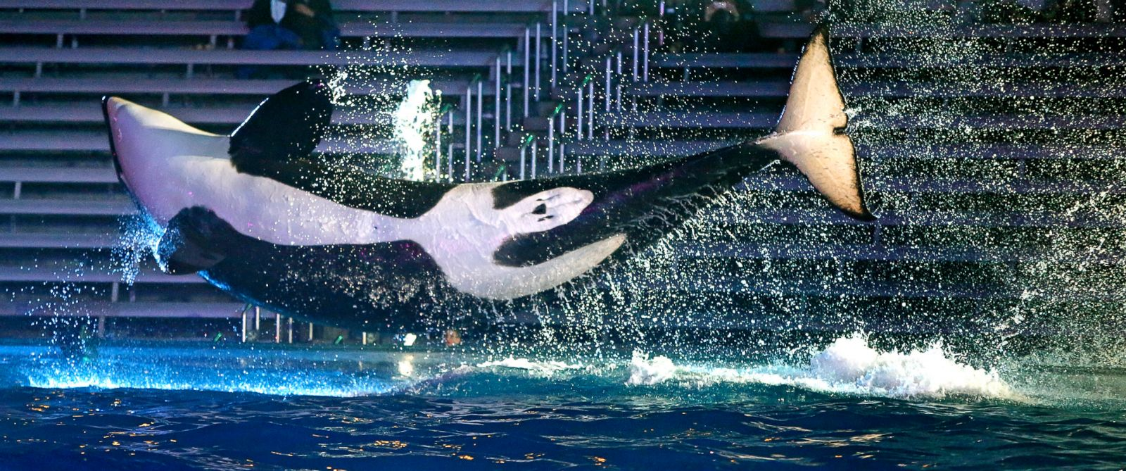 PHOTO: A trained orca whale leaps above the pool at Sea World, San Diego, March 20, 2014.