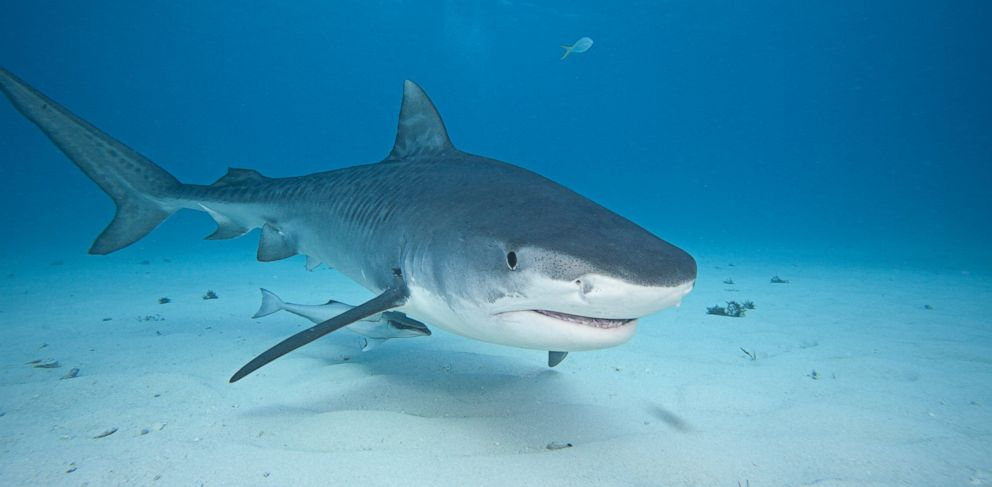 PHOTO: A shark is seen here in this undated file photo.