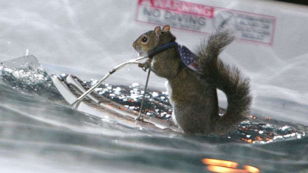 "PHOTO: In this file photo, Twiggy the Water-Skiing Squirrel is pictured on ""Late Show with David Letterman"" in New York City on Nov. 29, 2004."