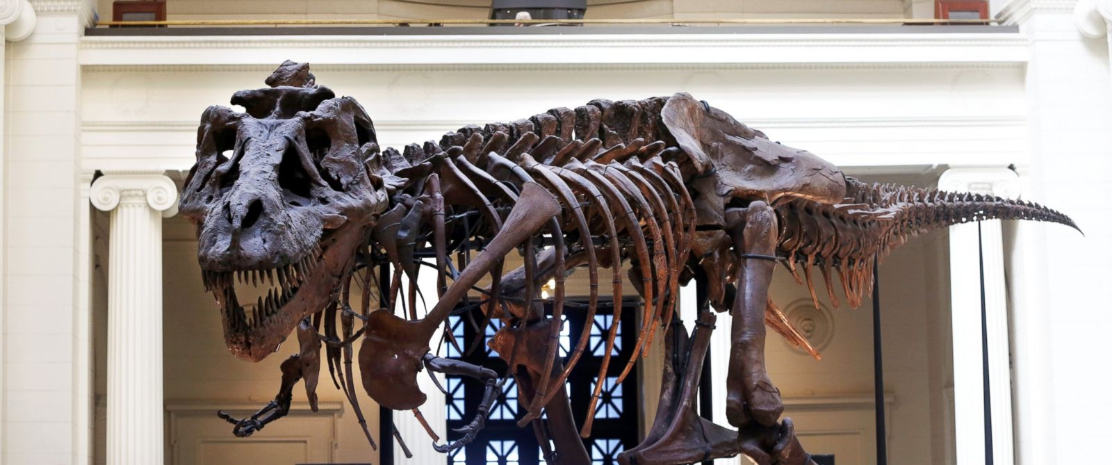 PHOTO: Sue, one of the largest, most extensive and best-preserved Tyrannosaurus rex specimens ever found, is displayed as part of the permanent collection at the Field Museum of Natural History in Chicago, Ill., in this April 1, 2014, file photo.