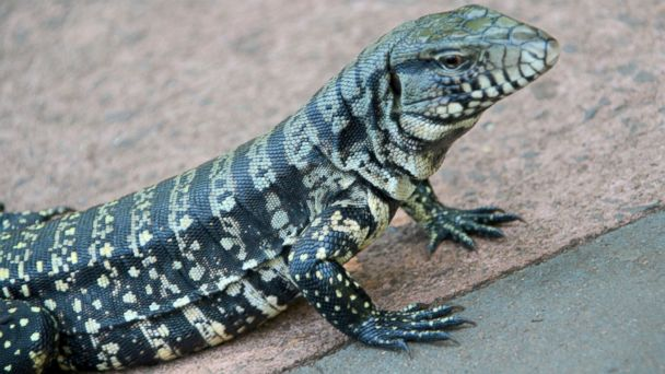 GTY tegu lizard jef 140225 16x9 608 Exotic 4 Foot Lizards Invading Florida