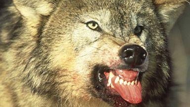 PHOTO: wolf
