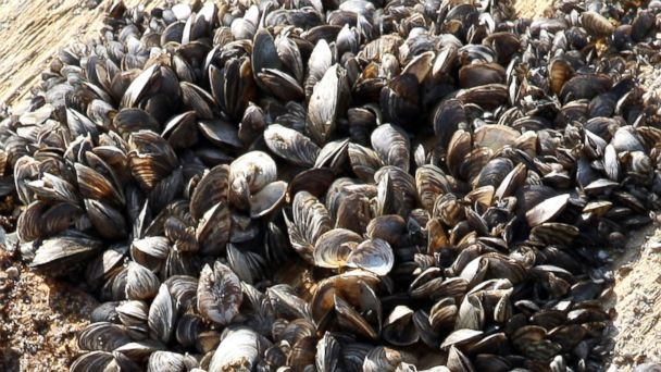 PHOTO: Zebra mussels near Kingston, Canada, which have invaded Lake Ontario, are seen in this Sept. 23, 2011 photo.