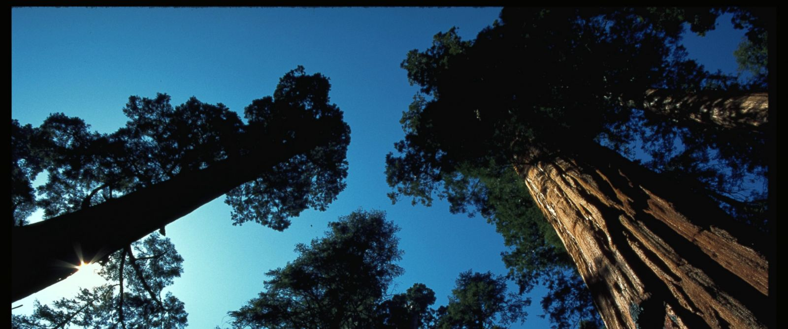 PHOTO: A stand of giant sequoias in Sequoia National Park. (Photo by Phil Schermeister/Corbis/VCG via Getty Images)