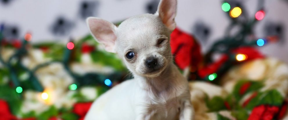 PHOTO: The Wisconsin Humane Society adopted out its smallest dog ever, Thumbelina, a 1.54-pound Chihuahua puppy, on Jan. 12, 2017.