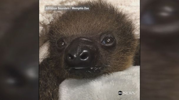 PHOTO: A baby sloth at the Memphis Zoo.
