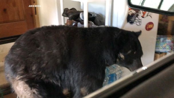 PHOTO: Denielle Backstrom was followed into the garage of her Colorado Springs, Colo, home by a 400-pound black bear that later climbed onto her car.