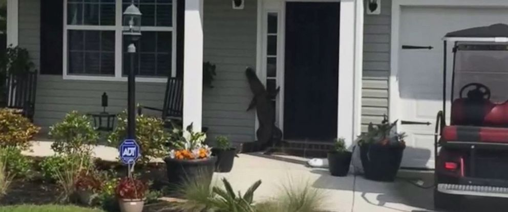 PHOTO: An alligator was found crawling up the front door of a familys home in Moncks Corner, S.C., on May 2, 2016.