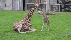 PHOTO: A baby giraffe bonds with his mother, Oct. 1, 2014 at the Detroit Zoo.